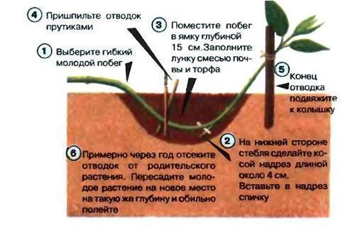 Размножение спиреи серой с помощью отводок