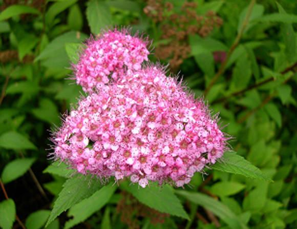 Цветы спиреи японской