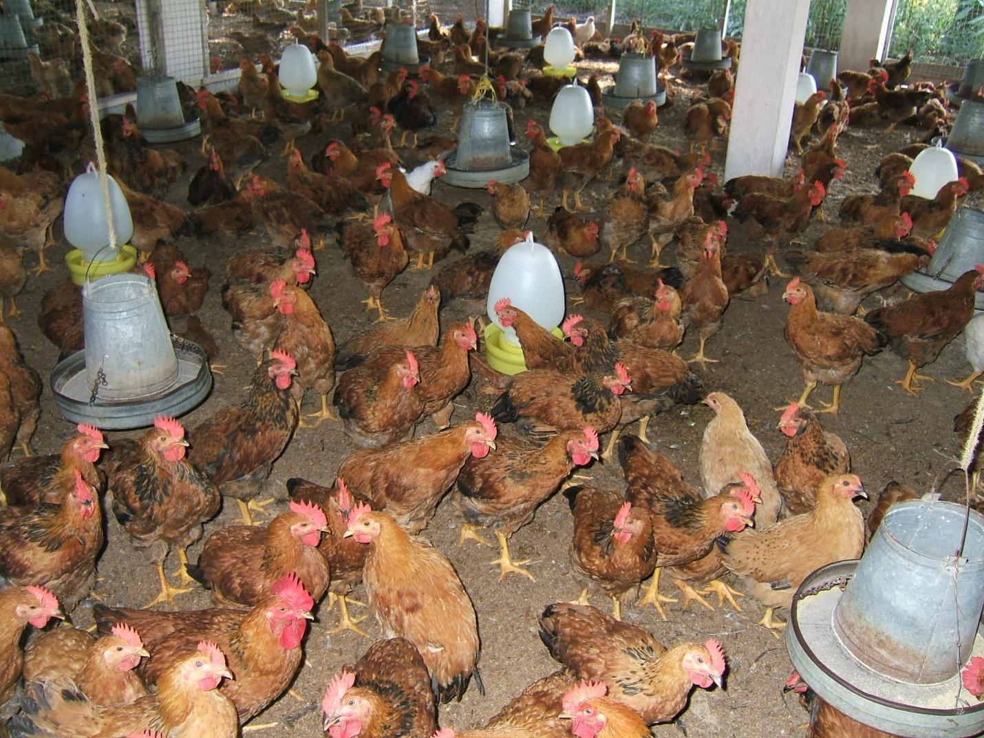 Phòng bệnh gumboro ở gà