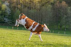 Image result for cows kicking