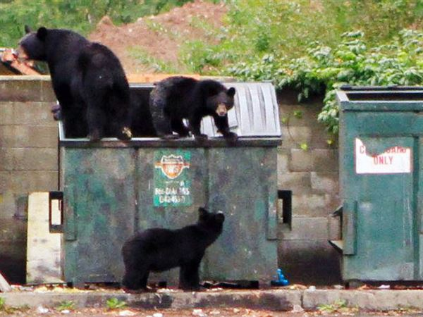 Are garbage can raids shortening bears' lives? | Pittsburgh Post-Gazette
