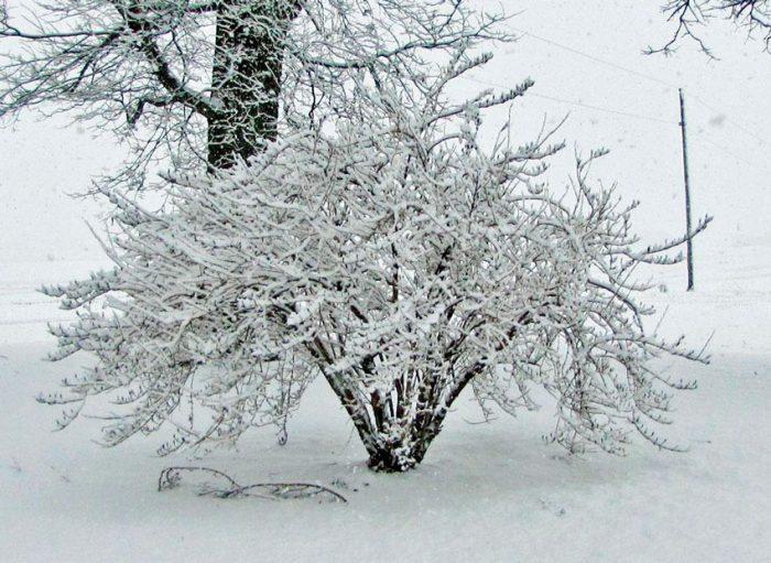 Вейгела зимой