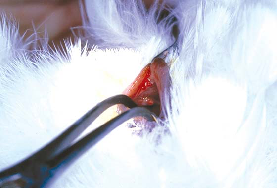 Speculum in the cloaca of an anesthetized umbrella cockatoo