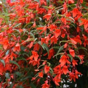 Image result for begonia summerwings orange