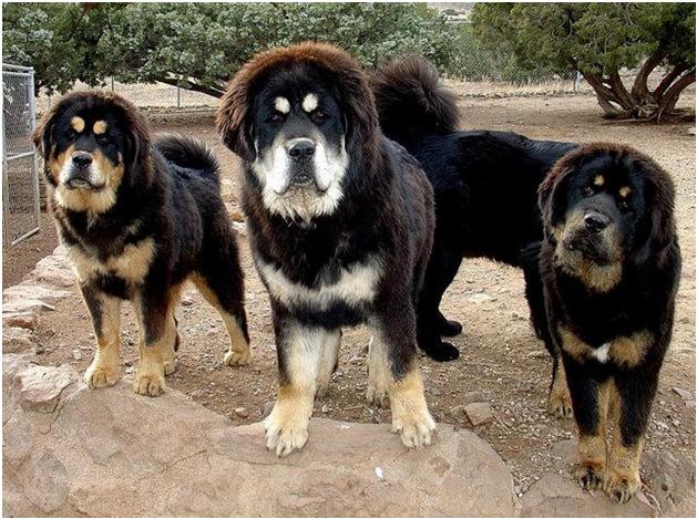 Tibetan Mastiff German Shepherd Mix Images & Pictures - Becuo