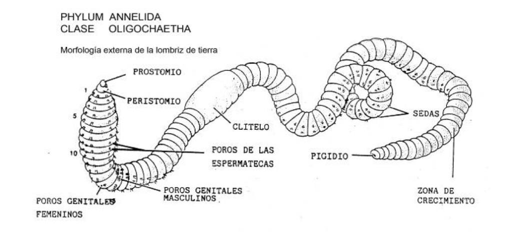 Increíble Anatomía Interna De Un Diagrama De Lombriz De Tierra ...