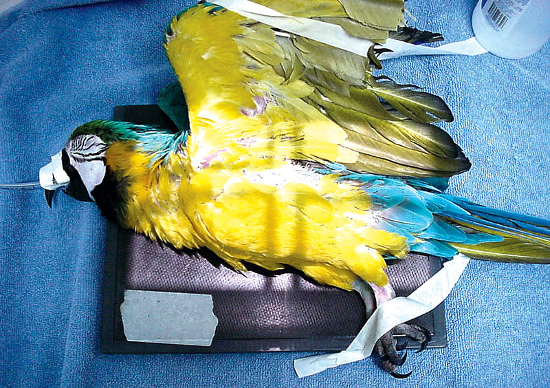 Routine positioning of an anesthetized bird for the laterolateral projection