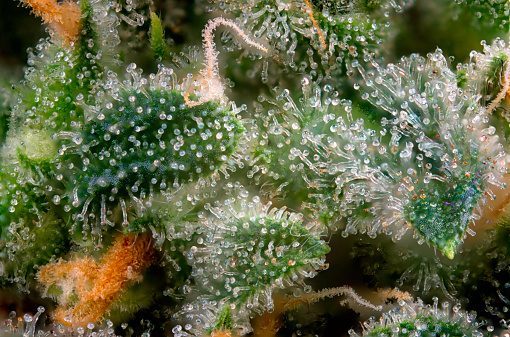 You'll know when to harvest weed if most of the trichomes are an amber or brown color.