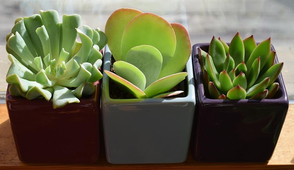 succulent-trio-2026503_960_720.jpg