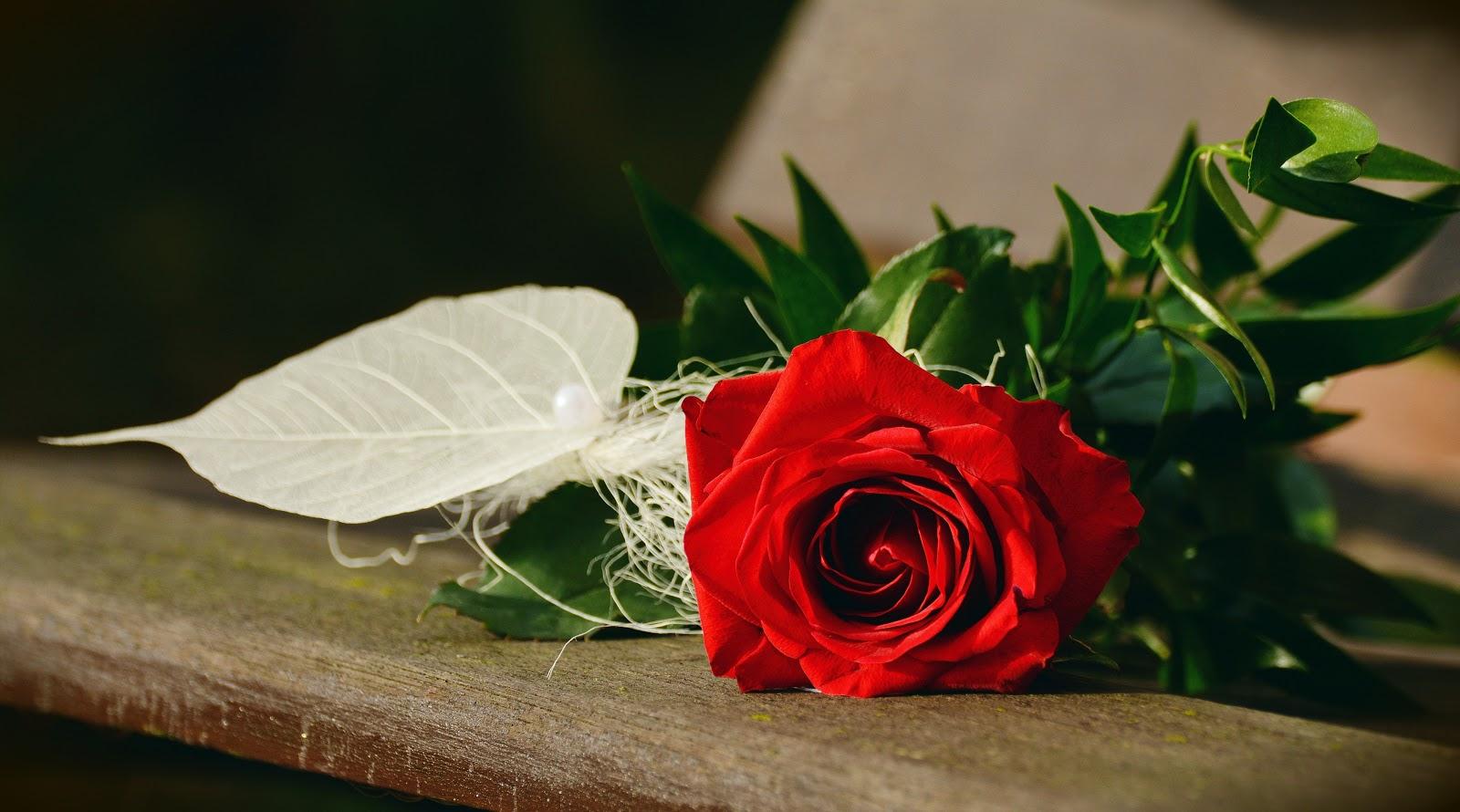 ורד אדומה