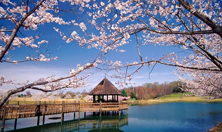 Cherry blossoms in Meadowlark Botanical Gardens in Vienna, VA