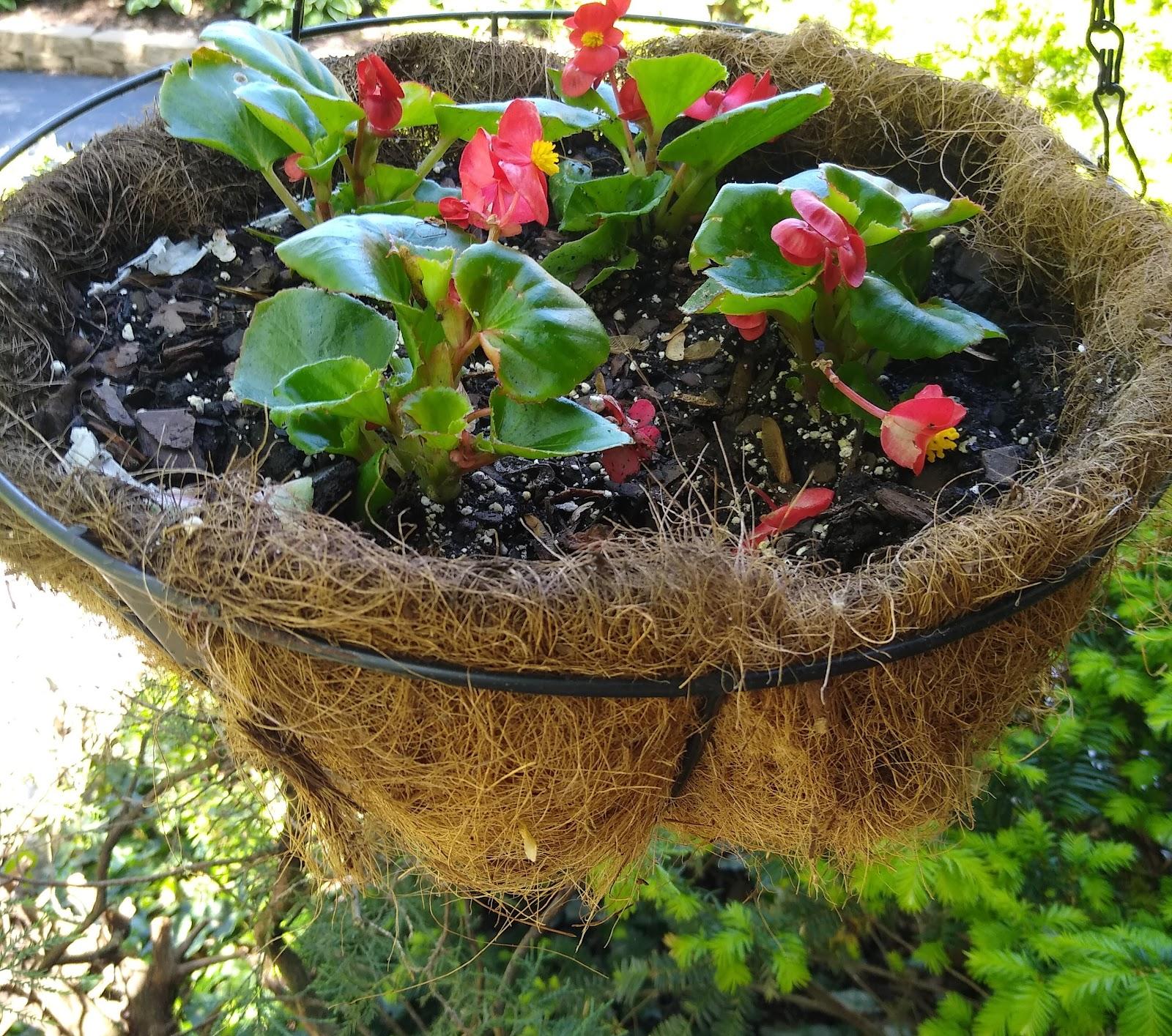 coral begonia hanging basket picture