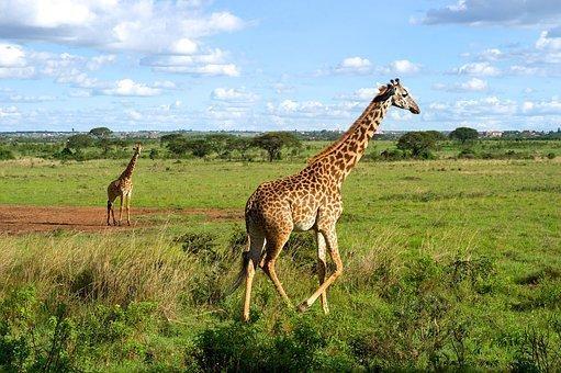 Giraffes, Wildlife, Running, Nature