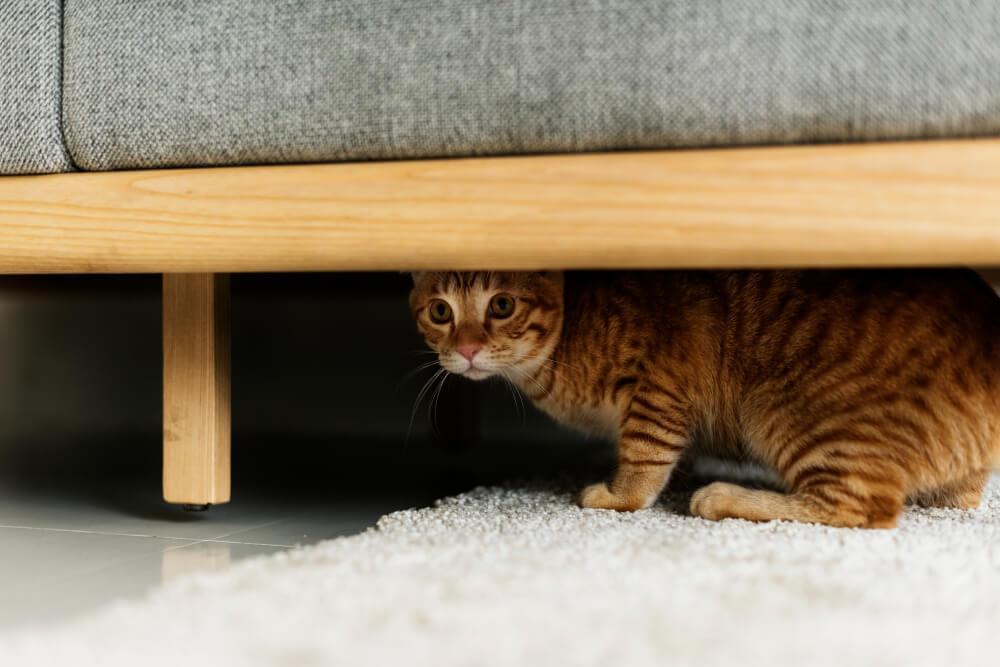 cat hiding under the sofa