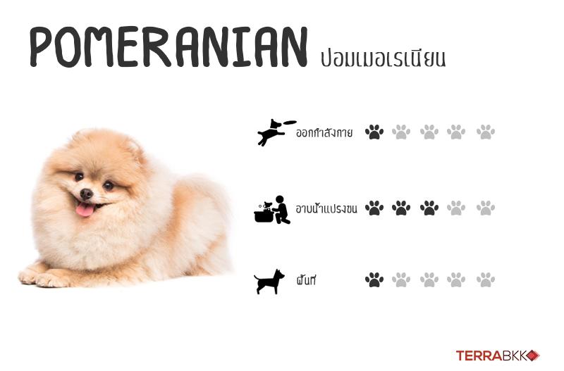 4. ปอมเมอเรเนียน (Pomeranian)