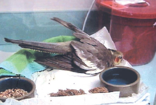A cockatiel (Nymphicus hollandicus) with a spinal lesion of unknown etiology demonstrates a posture often seen with paraparesis