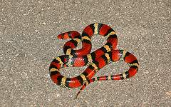 harmless Florida Scarlet Snake