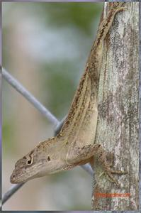 Cuban Brown Anole. Click to Enlarge.