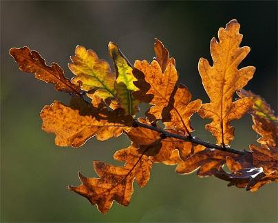 Oak Leaf Wine. - Hypnotherapy Somerset BlogHypnotherapy Somerset Blog