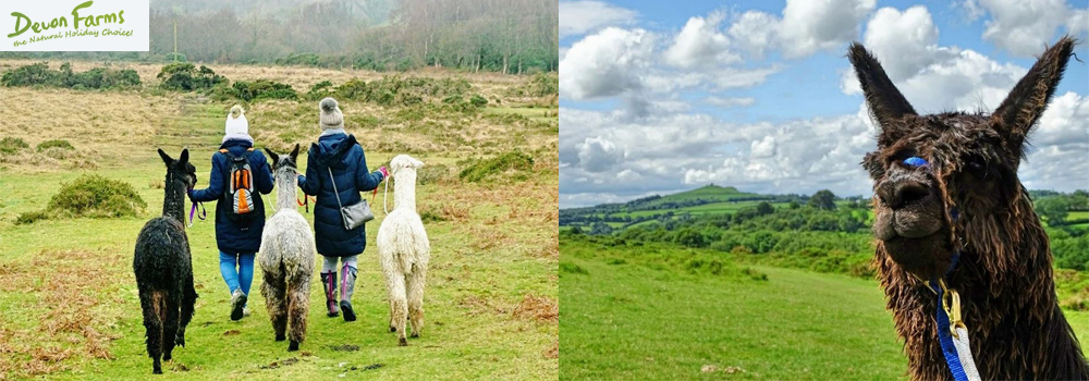 Looking to do something different while on holiday in Devon then why not consider Lydford Gorge Alpaca walking.