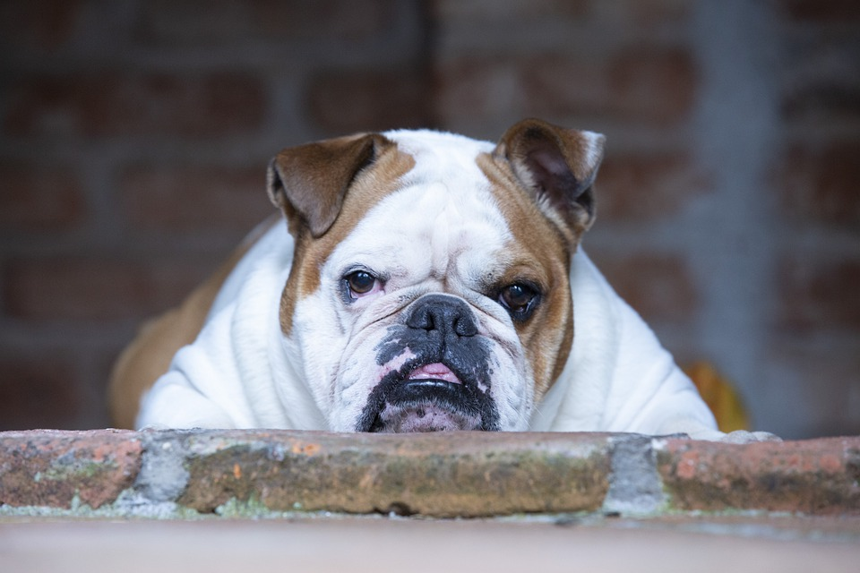 68VkNPorxLGmRYwY7eBNL5e Are English Bulldogs High Maintenance? - A Guide For New Dog Owners