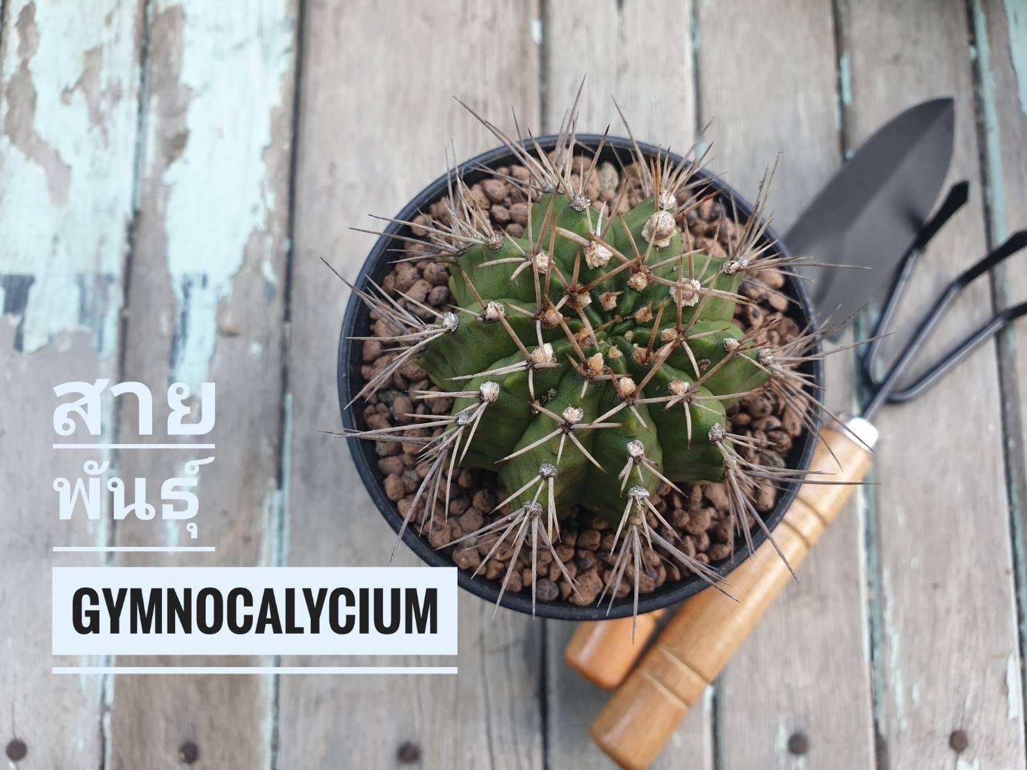 รู้จักสายพันธ์ Gymnocalycium