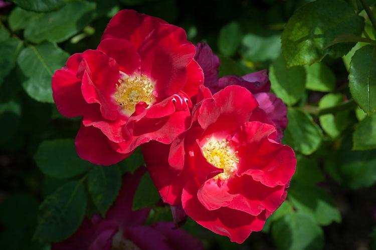 роза ROSE RED COAT