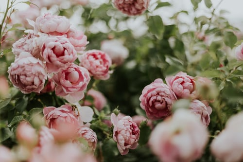Peony; Breathtaking Flowers That Start With P