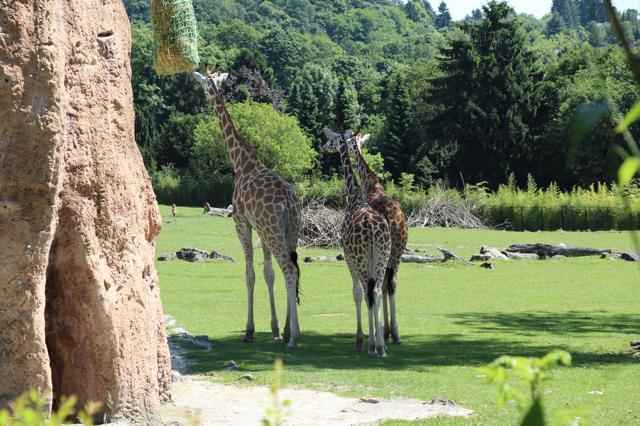 Opel zoo giraffenverblijf