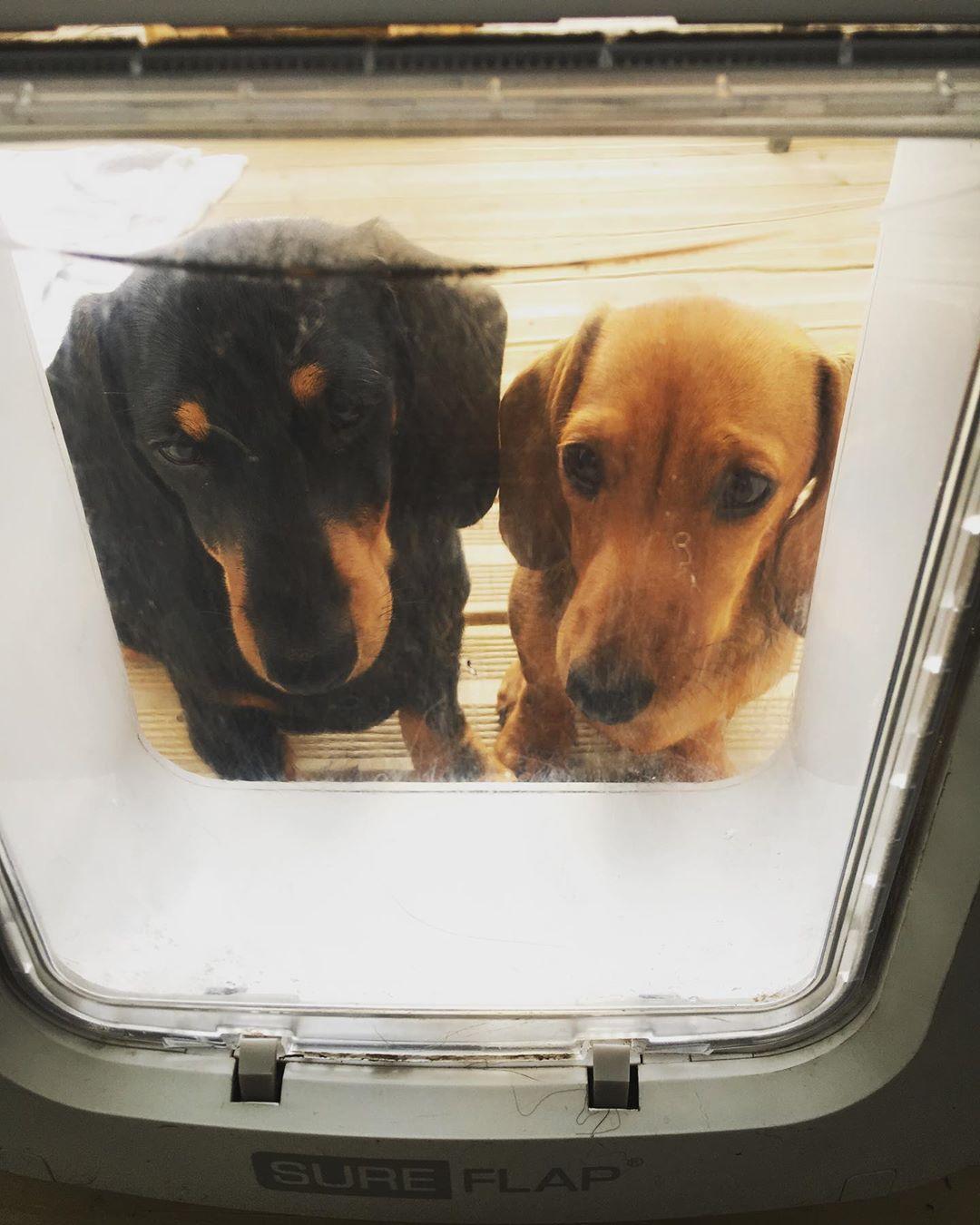 SureFlap microchip dog door