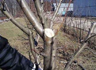срез яблони