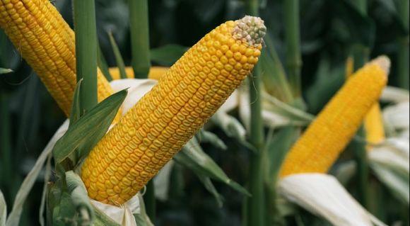 Норми висіву кукурудзи фото 1 Universeed