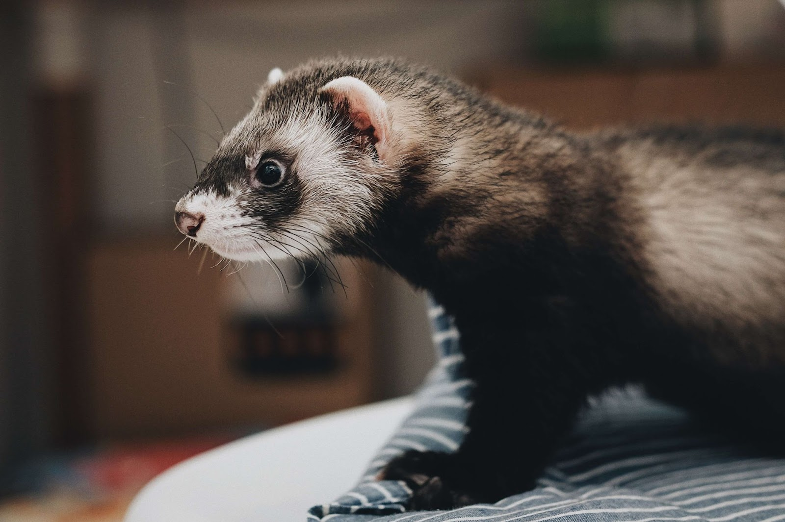 Can Ferrets Eat Avocados?