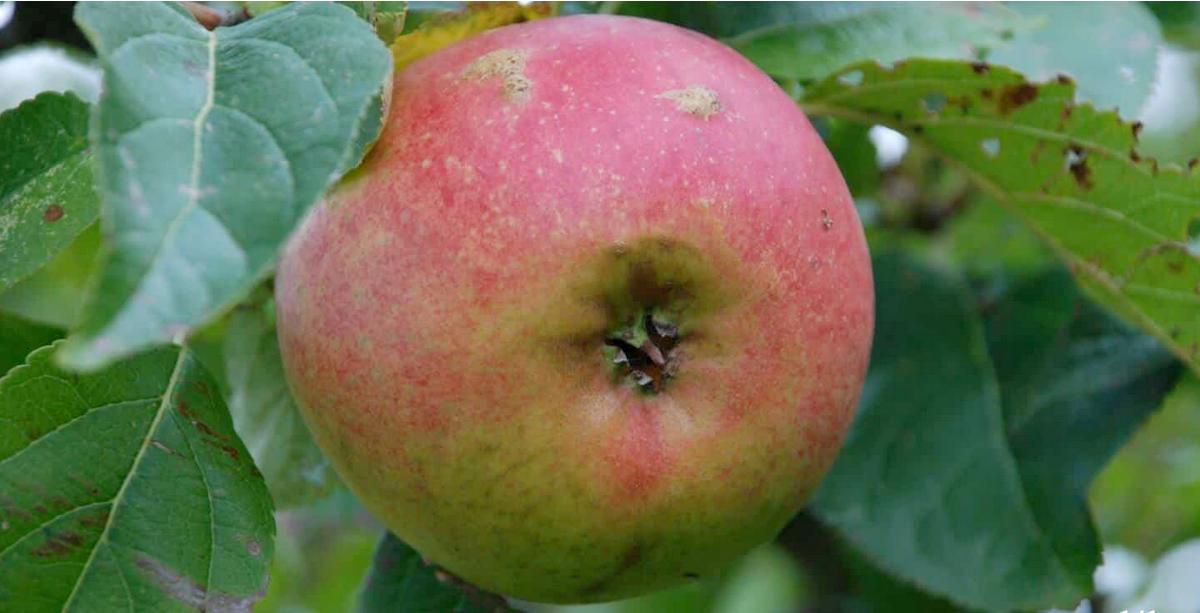 Et billede, der indeholder frugt, plante, blad, grøn  Automatisk genereret beskrivelse