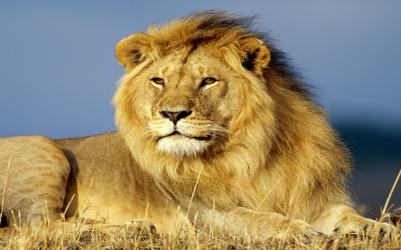 León   Wiki Reino Animalia   Fandom