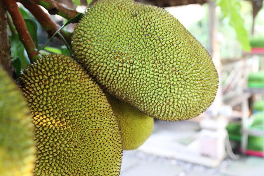Hasil gambar untuk jackfruit bali
