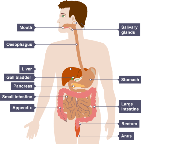 Igcse Biology Notes  2 26  Describe The Structures Of The Human Alimentary Canal And Describe