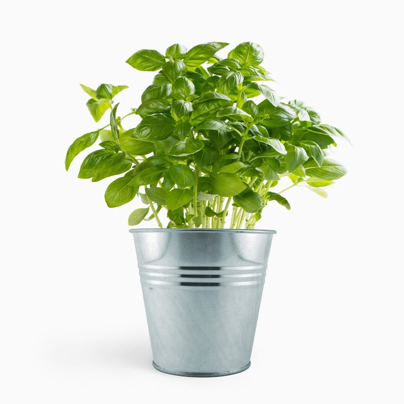 Basil plant in silver pot | Indoor plants for dogs