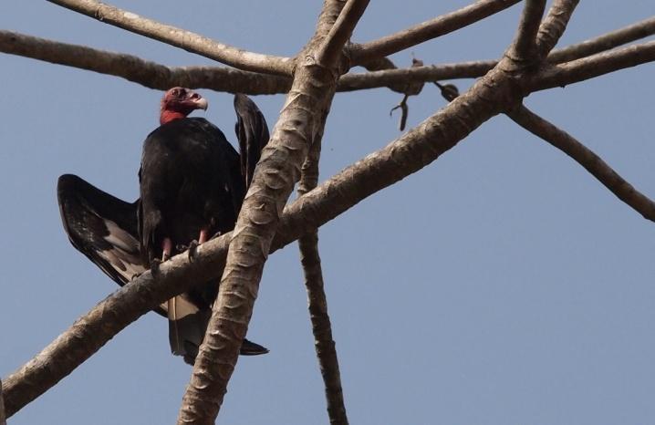 E:ARTICULOS PERIODISMO ECOLOGISTAARTICULO SAROCHE LISTOAves del Semiarido LarenseNo Passeriformes (24 familias)5. Cathartidae (2 especies)b.Oripopo.JPG