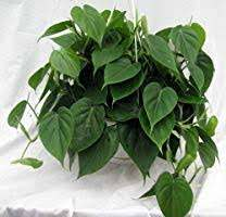 "Heart Leaf Philodendron - Easiest House Plant to Grow - 4"" Pot - Live  Plant: Amazon.com: Grocery & Gourmet Food"