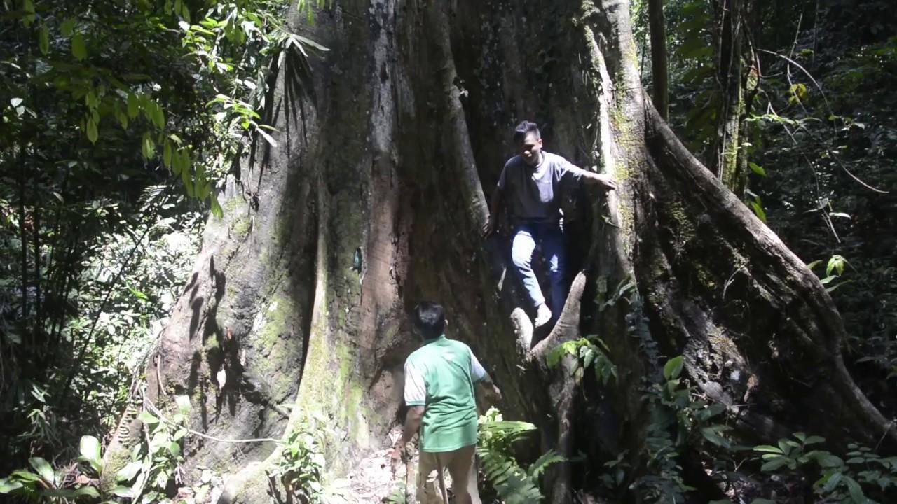 the verry big treet from west sumatra,Indonesia - YouTube