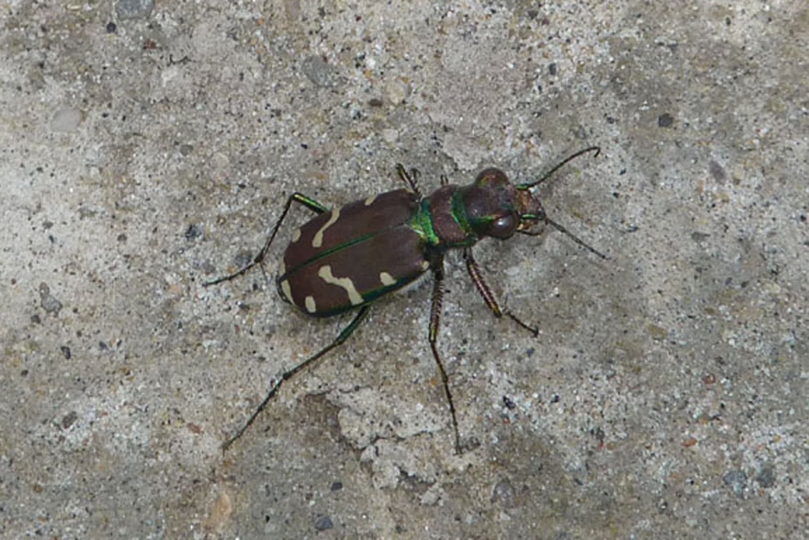 Green-Margined Tiger Beetle