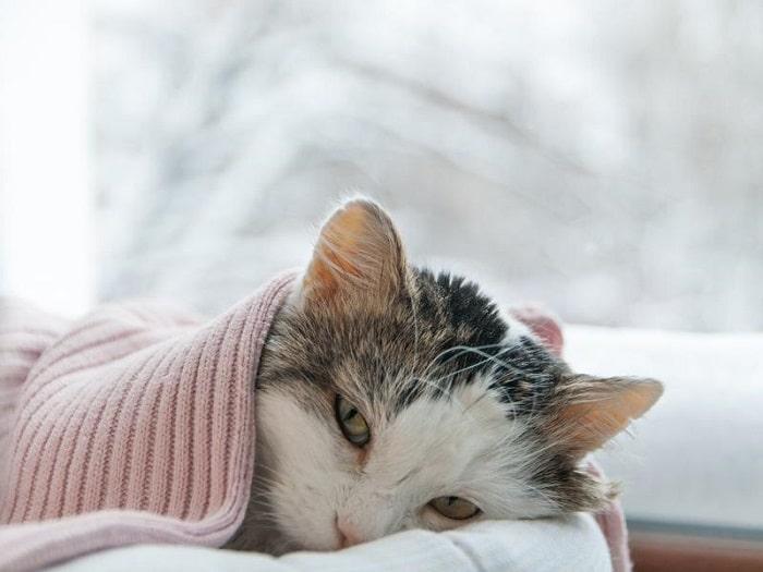mèo con bị sổ mũi
