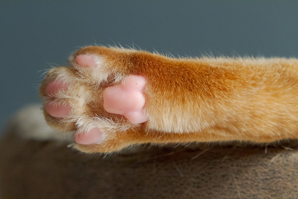 The softest, squishy metatarsal pad on your kitty's hindleg.
