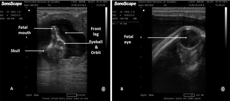 Figura 22. A. Un feto de búfalo de 80 días, es fácil observar el cráneo, la órbita del globo ocular, las fosas nasales y la pata delantera derecha. La Figura 22 B muestra un feto de 150 días. El diámetro de la órbita podría usarse para evaluar la edad fetal.