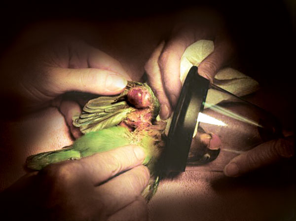 Fibrosarcoma on the wing of a lovebird
