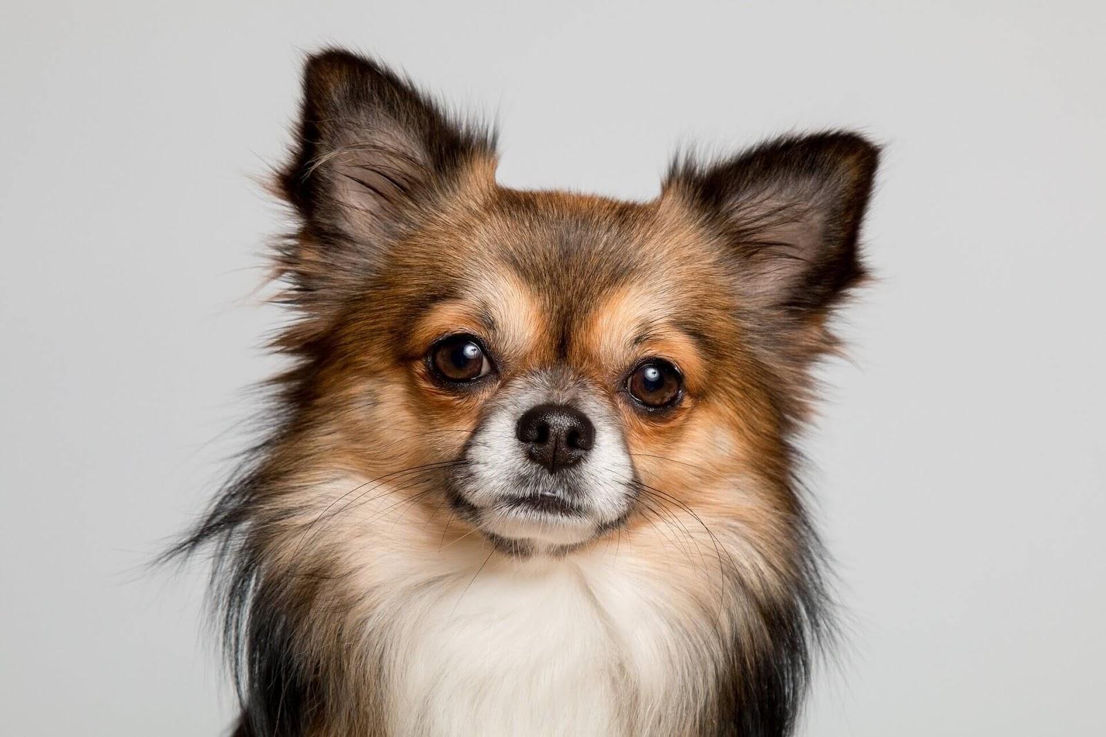 Why Were Chihuahuas Bred?