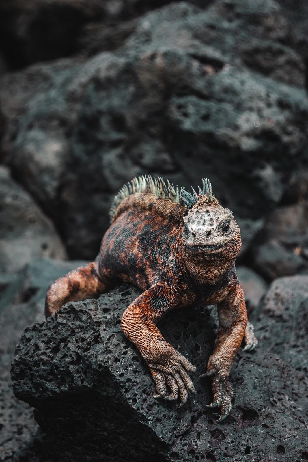 Iguana perched on black rocks
