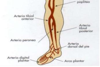 ulceras vasculares: anatomia