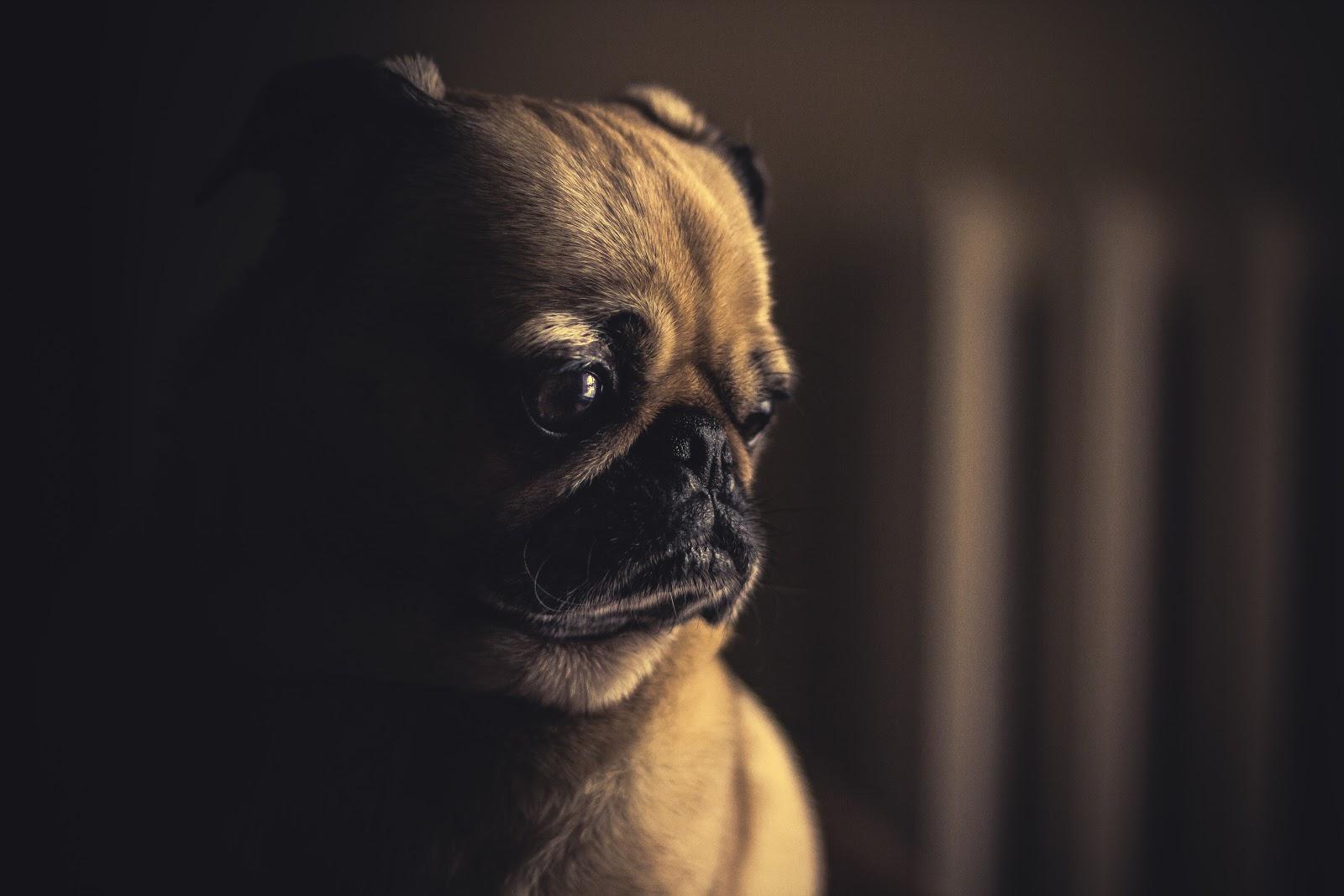 Sad Pug.jpg